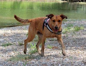 medium brown dog
