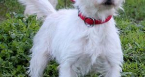 small white JRT cross