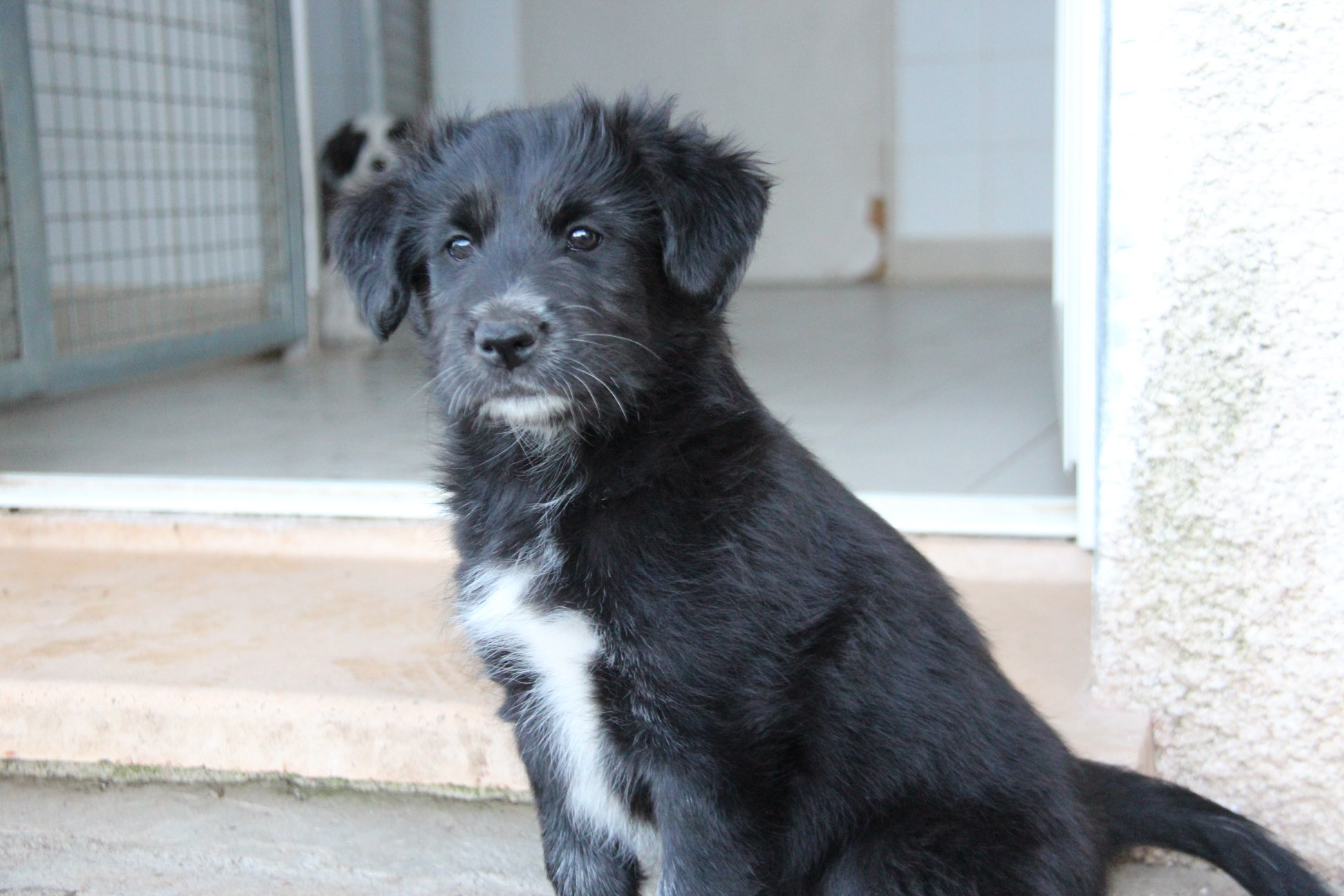 patou / border collie cross puppy